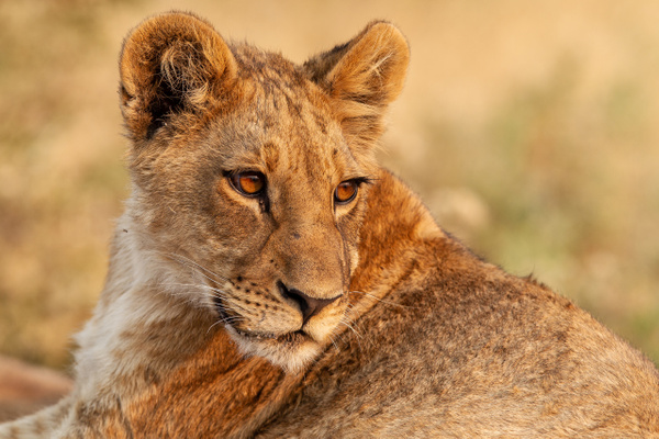 BOTSWANA (4) - AFRICA  - Lions - François Scheffen Photography