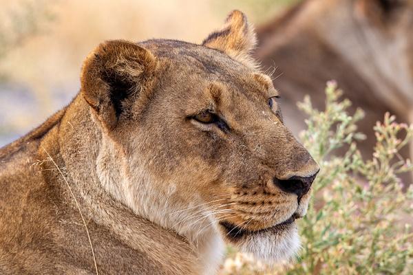 BOTSWANA (5) - AFRICA  - Lions - François Scheffen Photography