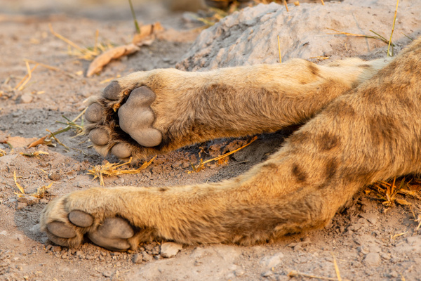 BOTSWANA (3) - AFRICA  - Lions - François Scheffen Photography