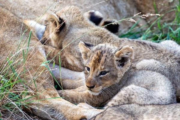 SOUTH AFRICA Kruger N.P (1) - AFRICA  - Lions - François Scheffen Photography