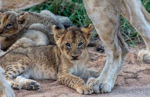 SOUTH AFRICA Kruger N.P (3) - AFRICA  - Lions - François Scheffen Photography