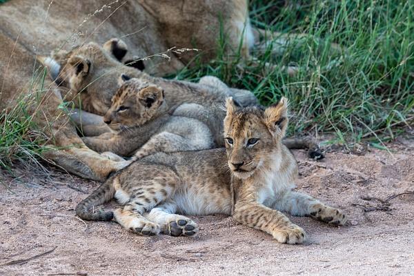 SOUTH AFRICA Kruger N.P (4) - AFRICA  - Lions - François Scheffen Photography