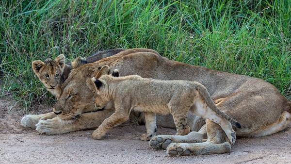 SOUTH AFRICA Kruger N.P (6) - AFRICA  - Lions - François Scheffen Photography