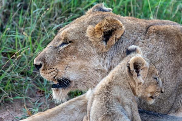 SOUTH AFRICA Kruger N.P (7) - AFRICA  - Lions - François Scheffen Photography