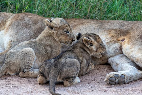 SOUTH AFRICA Kruger N.P (8) - AFRICA  - Lions - François Scheffen Photography