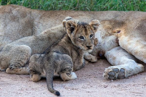 SOUTH AFRICA Kruger N.P (9) - AFRICA  - Lions - François Scheffen Photography