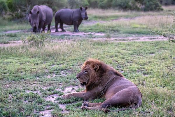 SOUTH AFRICA Kruger N.P (10) - AFRICA  - Lions - François Scheffen Photography