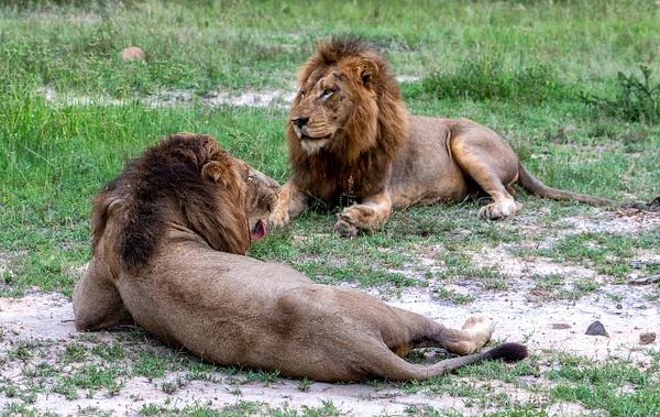SOUTH AFRICA Kruger N.P (12) - AFRICA  - Lions - François Scheffen Photography