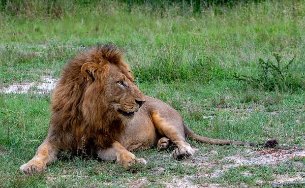 SOUTH AFRICA Kruger N.P (13) - AFRICA  - Lions - François Scheffen Photography