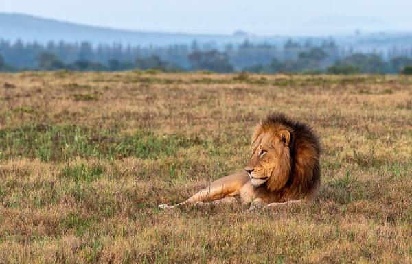 SOUTH AFRICA Kruger N.P (15) - AFRICA  - Lions - François Scheffen Photography