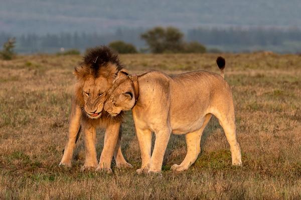 SOUTH AFRICA Kruger N.P (16) - AFRICA  - Lions - François Scheffen Photography