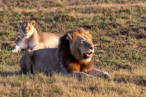 SOUTH AFRICA Kruger N.P (21) - AFRICA  - Lions - François Scheffen Photography
