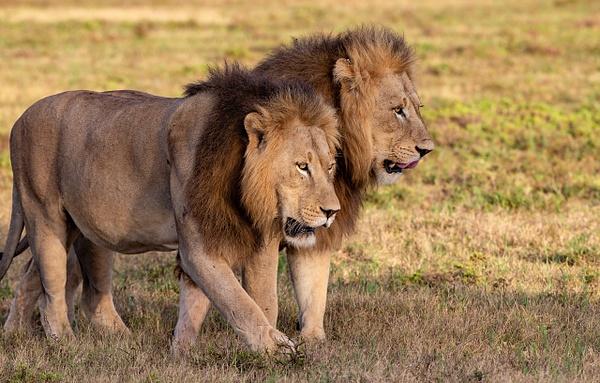 SOUTH AFRICA Kruger N.P (23) - AFRICA  - Lions - François Scheffen Photography