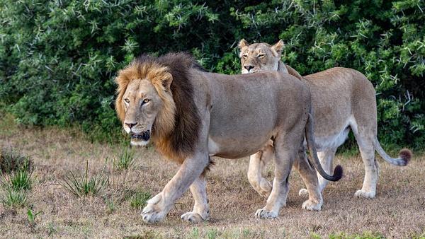 SOUTH AFRICA Kruger N.P (24) - AFRICA  - Lions - François Scheffen Photography