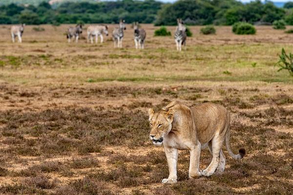 SOUTH AFRICA Kruger N.P (25) - AFRICA  - Lions - François Scheffen Photography