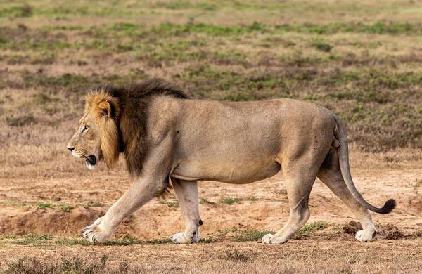 SOUTH AFRICA Kruger N.P (26) - AFRICA  - Lions - François Scheffen Photography