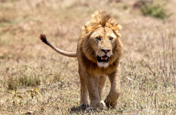 TANZANIA (2) - AFRICA  - Lions - François Scheffen Photography
