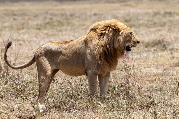 TANZANIA (5) - AFRICA  - Lions - François Scheffen Photography