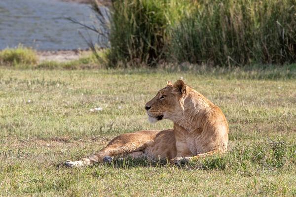 TANZANIA (7) - AFRICA  - Lions - François Scheffen Photography
