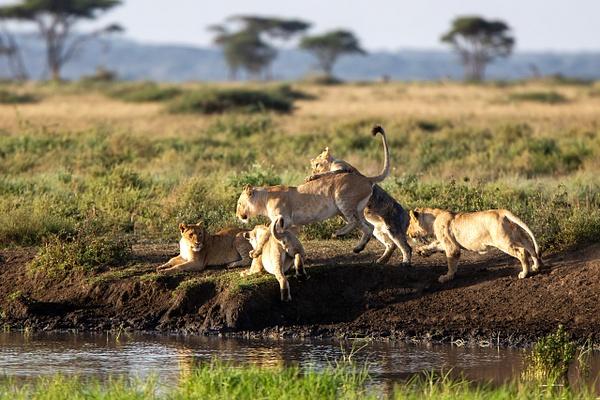 TANZANIA (8) - AFRICA  - Lions - François Scheffen Photography