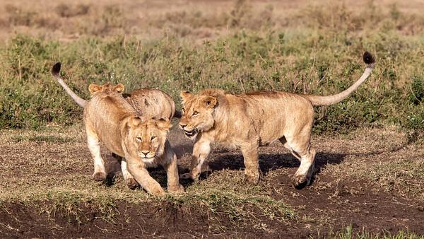 TANZANIA (12) - AFRICA  - Lions - François Scheffen Photography