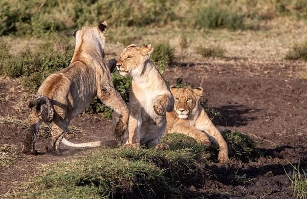 TANZANIA (9) - AFRICA  - Lions - François Scheffen Photography