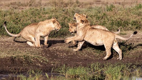 TANZANIA (11) - AFRICA  - Lions - François Scheffen Photography