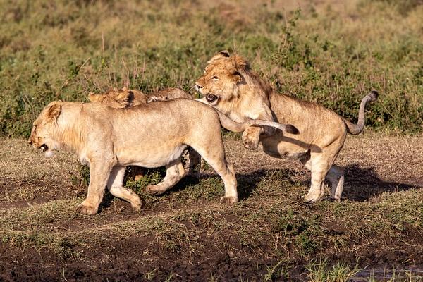 TANZANIA (13) - AFRICA  - Lions - François Scheffen Photography