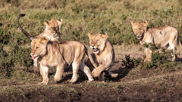 TANZANIA (14) - AFRICA  - Lions - François Scheffen Photography