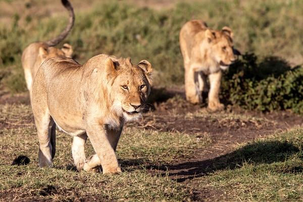 TANZANIA (15) - AFRICA  - Lions - François Scheffen Photography