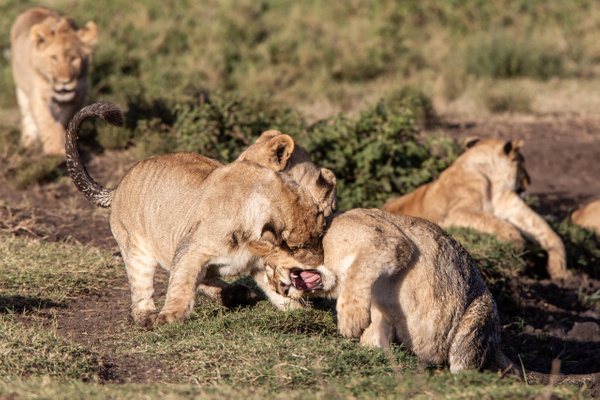 TANZANIA (16) - AFRICA  - Lions - François Scheffen Photography