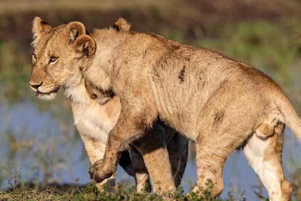 TANZANIA (18) - AFRICA  - Lions - François Scheffen Photography
