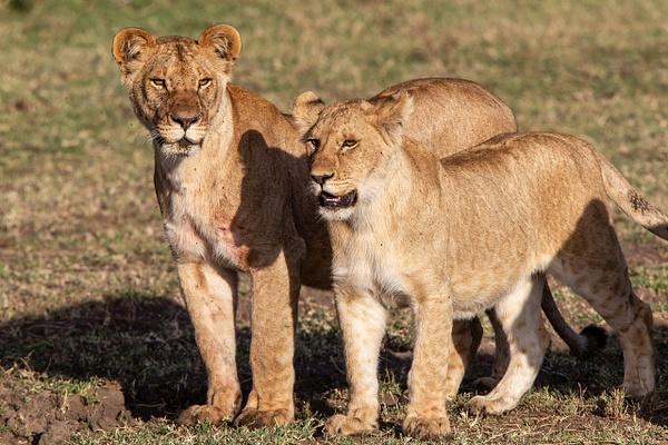 TANZANIA (20) - AFRICA  - Lions - François Scheffen Photography