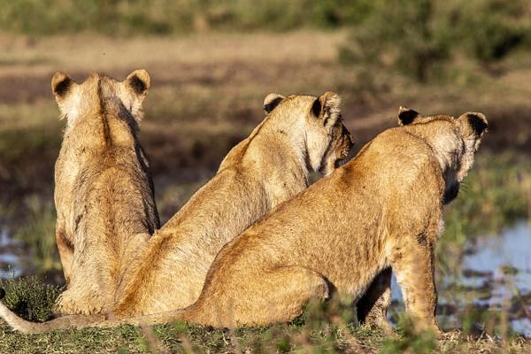 TANZANIA (19) - AFRICA  - Lions - François Scheffen Photography