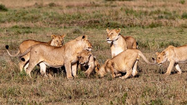 TANZANIA (22) - AFRICA  - Lions - François Scheffen Photography