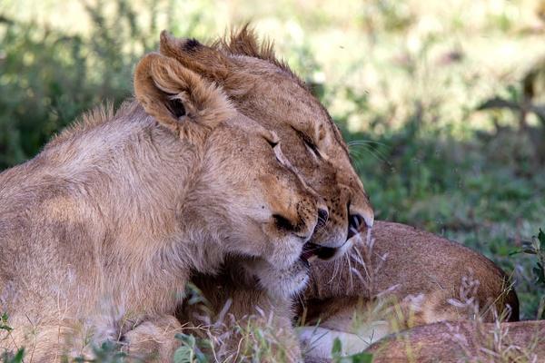 TANZANIA (25) - AFRICA  - Lions - François Scheffen Photography