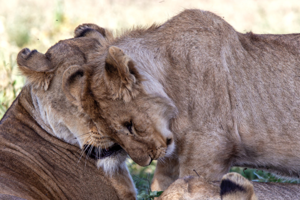 TANZANIA (26) - AFRICA  - Lions - François Scheffen Photography