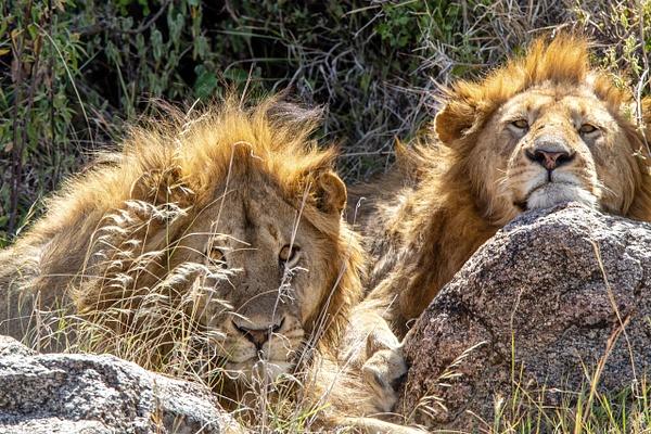 TANZANIA (28) - AFRICA  - Lions - François Scheffen Photography