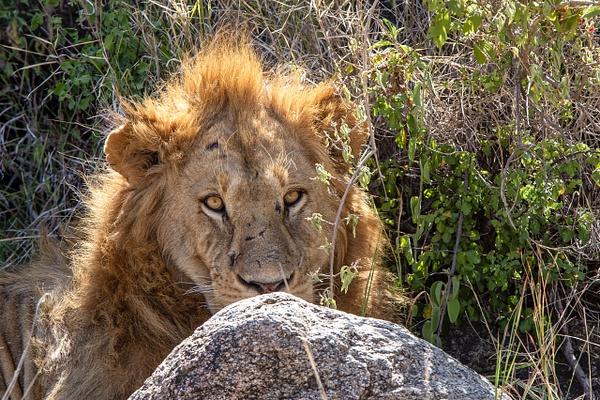 TANZANIA (29) - AFRICA  - Lions - François Scheffen Photography