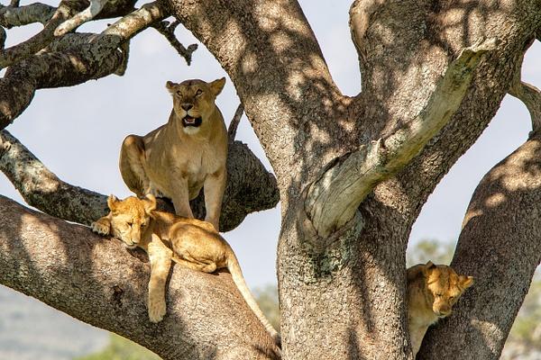TANZANIA (27) - AFRICA  - Lions - François Scheffen Photography