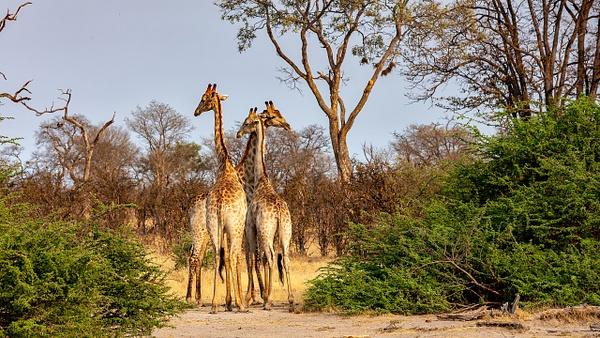2. Zarafa Camp (23) - BOTSWANA - François Scheffen Photography