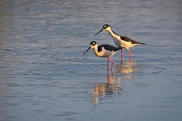 Black-necked Stilts - Nature - Phil Mason Photography