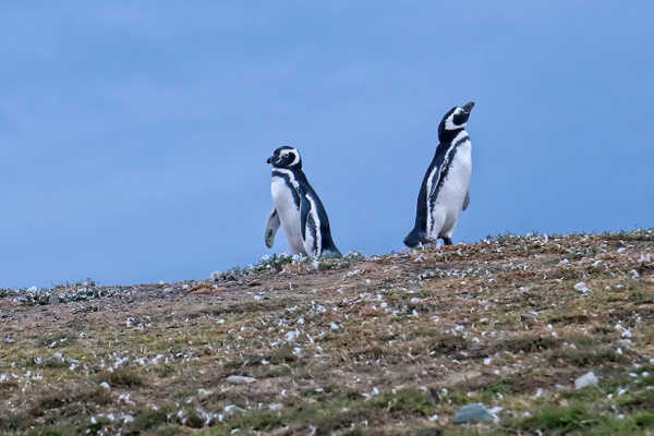 Magellianic Penguins - Nature - Phil Mason Photography