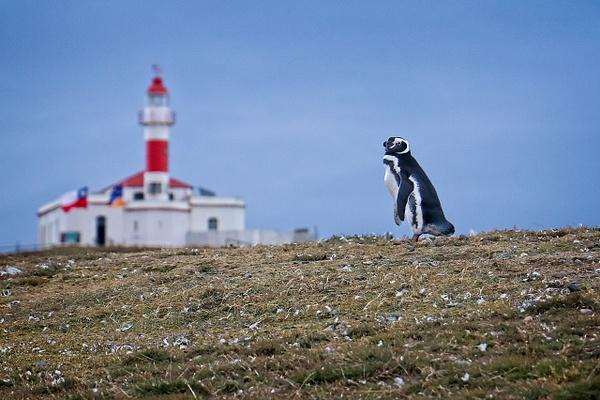 Magellianic Penguin - Nature - Phil Mason Photography