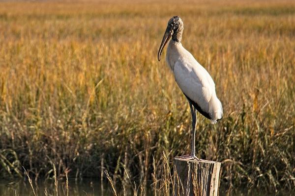 Lone Wood Stork - Nature - Phil Mason Photography