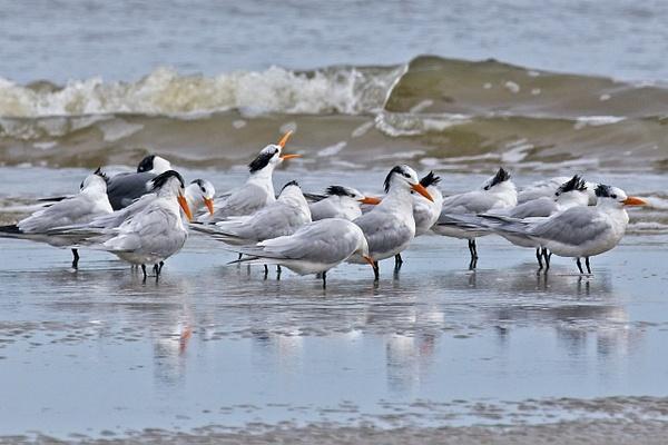 Royal Terns - Nature - Phil Mason Photography