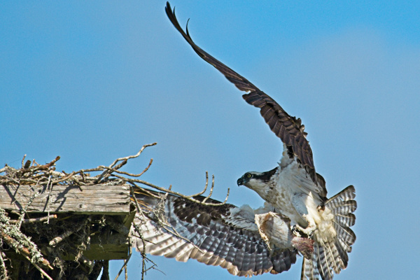 Osprey with Fish 2 - Nature - Phil Mason Photography