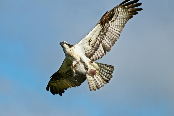 Osprey with Fish - Nature - Phil Mason Photography