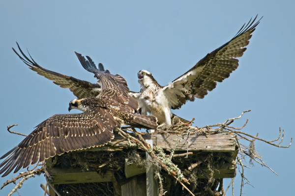 Parent and Young Osprey - Nature - Phil Mason Photography