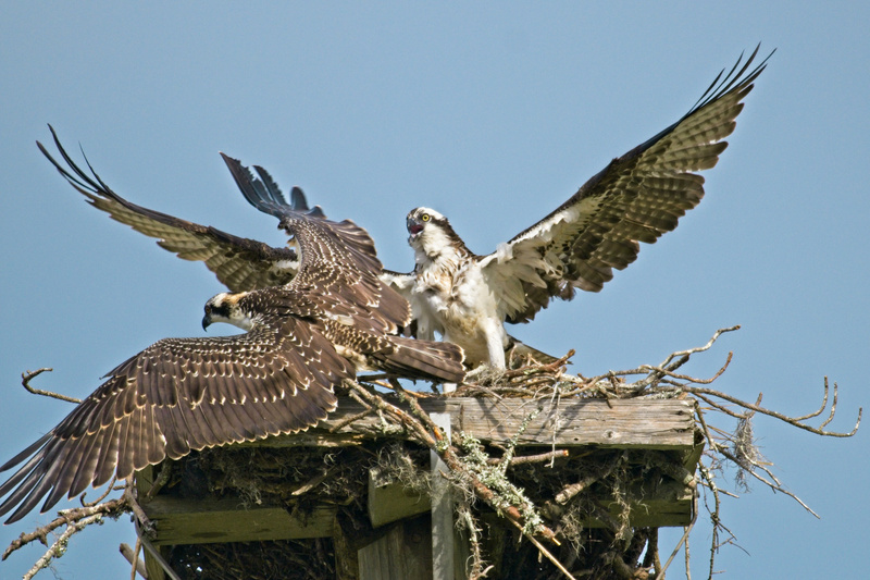 Parent and Young Osprey